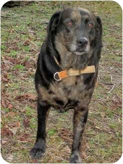 Labrador Retriever/Catahoula Leopard Dog Mix Dog for Sale in Wilmington, Delaware - JayBo