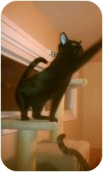 Domestic Shorthair Cat for adoption in Kansas City, Missouri - PeeWee