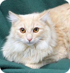 Domestic Longhair Cat for Sale in Sacramento, California - Liam