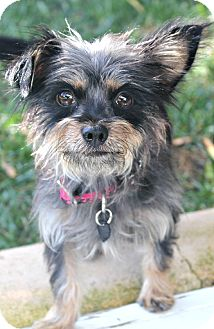 Yorkie, Yorkshire Terrier/Terrier (Unknown Type, Small) Mix Dog for Sale in Bellflower, California - Hope