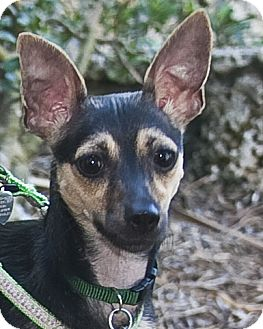 Italian Greyhound/Miniature Pinscher Mix Dog for Sale in North Palm Beach, Florida - Lola
