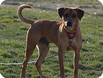 Hound (Unknown Type) Mix Dog for Sale in New cumberland, West Virginia - Tig