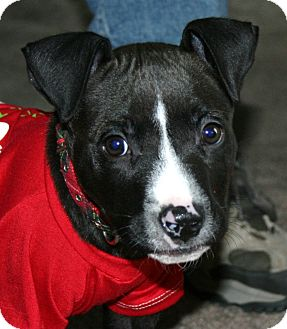 American Staffordshire Terrier/Bull Terrier Mix Puppy for Sale in North Olmsted, Ohio - Alton