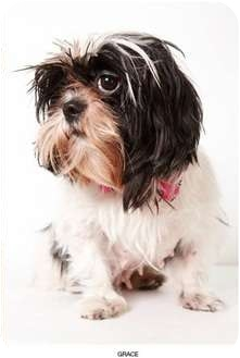 Shih Tzu Dog for Sale in New York, New York - Grace