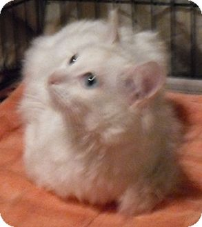 Turkish Angora Cat for Sale in North Highlands, California - Woody