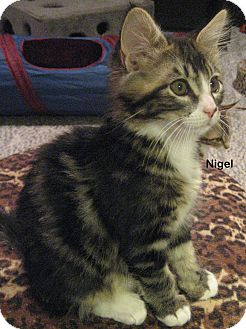 Domestic Mediumhair Kitten for Sale in Portland, Oregon - Nigel