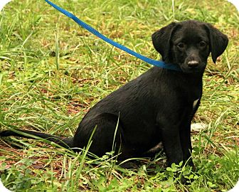 Labrador Retriever Mix Puppy for Sale in Windham, New Hampshire - Sara Lee ($50.00 OFF)