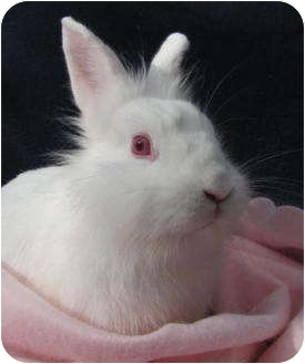 Lionhead Mix for adoption in Williston, Florida - Sassy