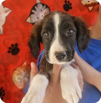 Spaniel (Unknown Type) Mix Puppy for Sale in Oviedo, Florida - Chey