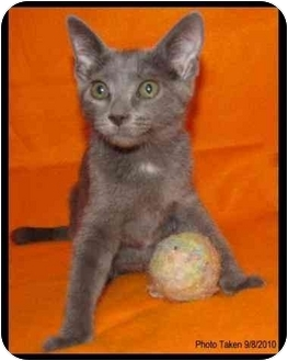 Domestic Shorthair Kitten for Sale in Orlando, Florida - Elena