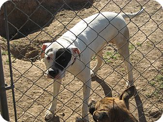 Pit Bull Terrier Mix Dog for Sale in phoenix, Arizona - roxy