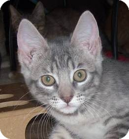 Domestic Shorthair Kitten for Sale in Kansas City, Missouri - Dakota