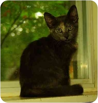 Domestic Shorthair Cat for Sale in Witter, Arkansas - NIKKI