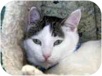 Domestic Shorthair Cat for adoption in Culver City, California - Jennifer