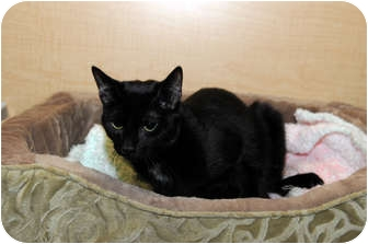 Domestic Shorthair Cat for adoption in Farmingdale, New York - Jack