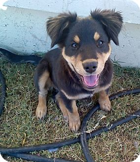 Rottweiler/German Shepherd Dog Mix Puppy for Sale in Gilbert, Arizona - Bella