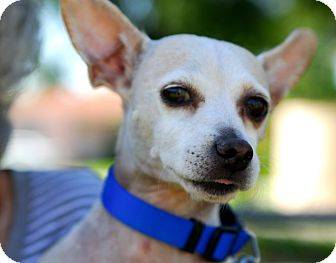 Chihuahua Mix Dog for adption in hollywood, Florida - Machito