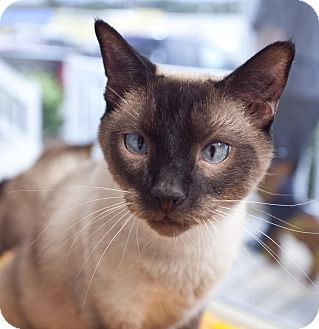 Siamese Cat for adoption in Chesapeake, Virginia - Dweeble