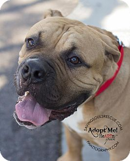 Mastiff Mix Dog for Sale in Scottsdale, Arizona - Bruce