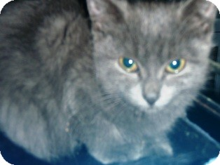 Russian Blue Kitten for Sale in Pasadena, California - Bluebelle