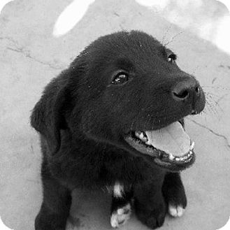 Golden Retriever/Flat-Coated Retriever Mix Puppy for Sale in La Mirada, California - Allana