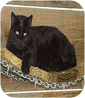 Domestic Shorthair Cat for adoption in Clovis, New Mexico - Soot
