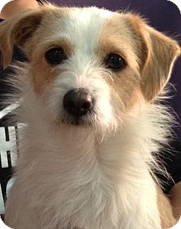 Terrier (Unknown Type, Small) Mix Dog for Sale in Thousand Oaks, California - Lucy