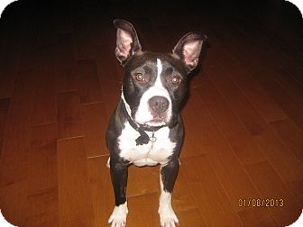 Boston Terrier/Pit Bull Terrier Mix Dog for Sale in Bellingham, Washington - Iggy