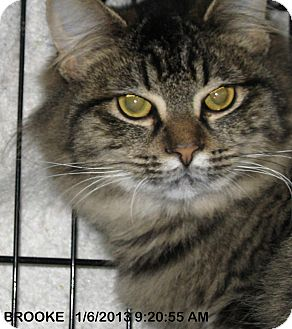 Domestic Mediumhair Cat for adoption in Brainardsville, New York - BROOKE