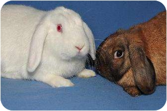 Mini Lop Mix for adoption in Chesterfield, Missouri - Benita and Balin