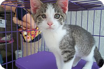 Domestic Shorthair Kitten for Sale in Acme, Pennsylvania - Tank