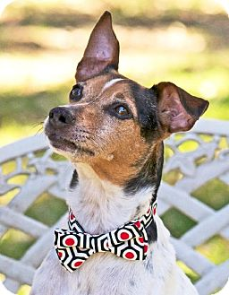 Rat Terrier/Terrier (Unknown Type, Medium) Mix Dog for adption in San Antonio, Texas - Kiefer