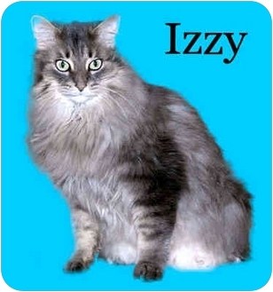 Domestic Longhair Cat for adoption in Howell, Michigan - Izzy