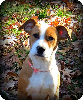 Boxer/American Bulldog Mix Puppy for Sale in Glastonbury, Connecticut - Cowboy~adopted~