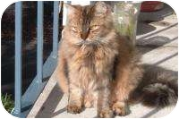Domestic Longhair Cat for adoption in Gainesville, Florida - Panchi