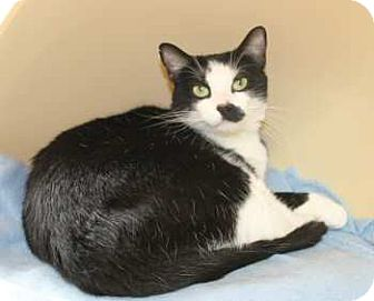Domestic Shorthair Cat for adoption in Lunenburg, Massachusetts - Trix