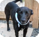 Labrador Retriever Mix Dog for Sale in Pineville, North Carolina - Fern