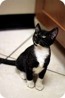 Domestic Shorthair Kitten for Sale in Chicago, Illinois - Jacques