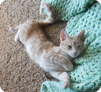 Domestic Shorthair Cat for Sale in Bentonville, Arkansas - Harvey