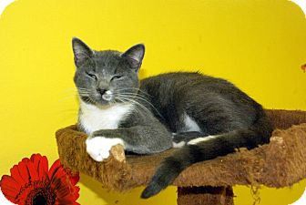 Domestic Shorthair Kitten for Sale in Mobile, Alabama - Pumpkin