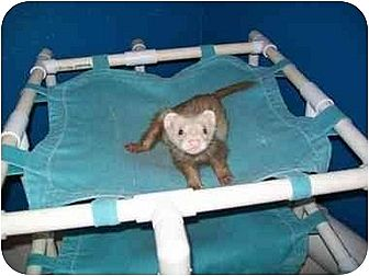 Ferret for adoption in San Marcos, Texas - Missy
