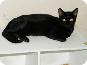 Domestic Shorthair Cat for adoption in Fort Lauderdale, Florida - Cleopatra