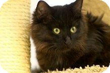 Bombay Kitten for Sale in Mesa, Arizona - Lily