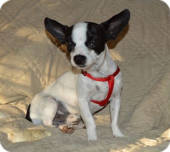 Boston Terrier/Chihuahua Mix Dog for Sale in Los Angeles, California - Oreo