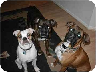 Boxer Dog for adption in Phoenix, Arizona - foster a boxer