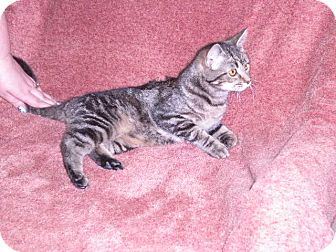 Domestic Mediumhair Kitten for adoption in New Castle, Pennsylvania - Bonnie