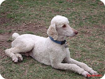 Standard Poodle Dog for Sale in Culver City, California - Biggie