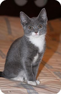 Domestic Shorthair Kitten for Sale in East Hanover, New Jersey - Sprite