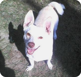 Chihuahua Mix Dog for adption in Porter, Texas - Lady