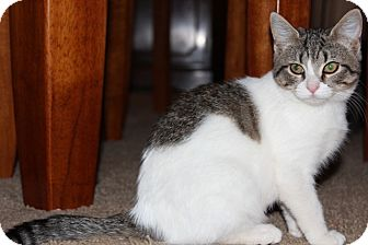 American Shorthair Kitten for Sale in Plainfield, Connecticut - Maude